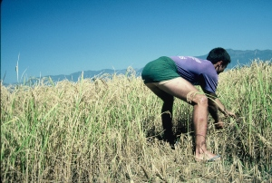 Jeff Gaura harvesting rice in Dang, Nepal