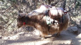 Yak carries propane up to Everest Base Camp in Nepal