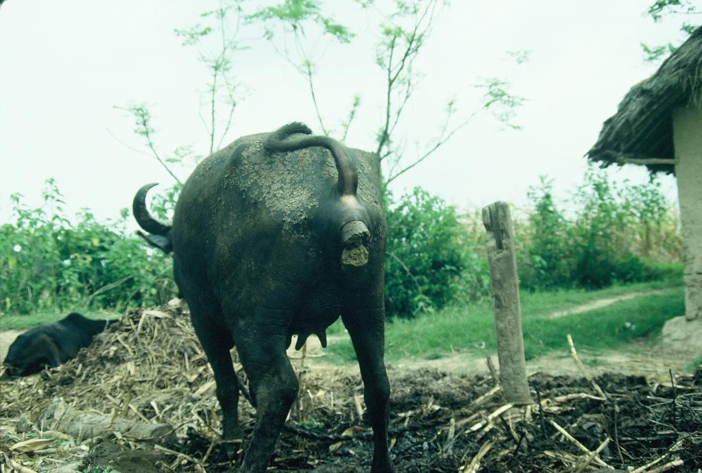 Buffalo pooping