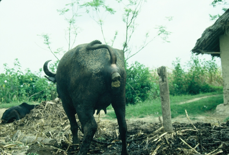 Buffalo pooping